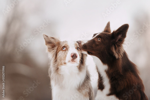 Two cute border collies dogs hugging on a winter walk Fotobehang