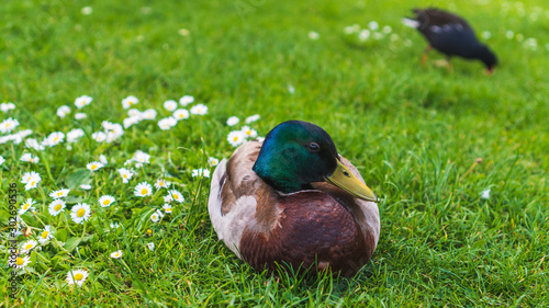 Photo  Portrait of a male mallard duck perched on a green grass meadow next to delicate white daisies