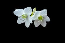 White Flower Isolated On Black Background