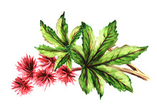 Castor Oil Plant, Ricinus Communis. Brunch With Red Flowers And Green Leaves. Watercolor Hand Drawn Illustration, Isolated On White Background