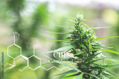 cannabinoids in marijuana CBD elements, researching hemp oil extracts for medical purposes Canvas Print