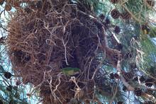 A Monk Parakeet (Myiopsitta Mo...