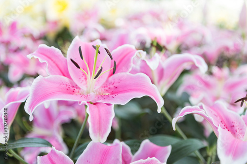 Beautiful pink lilly flower background, outdoor day light, spring season concept Fototapete