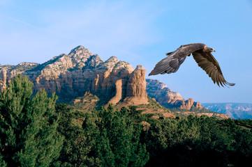 Fototapeta Ptaki Golden Eagle (aquila chrysaetos) in Flight