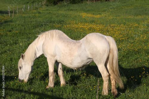 Pferd mit Rückenleiden Canvas Print