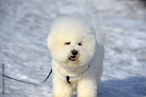 Valokuvatapetti Bichon frize breed  white color