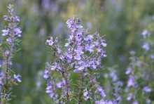 Wild Rosemary Plant With Purple Flowers Blooming