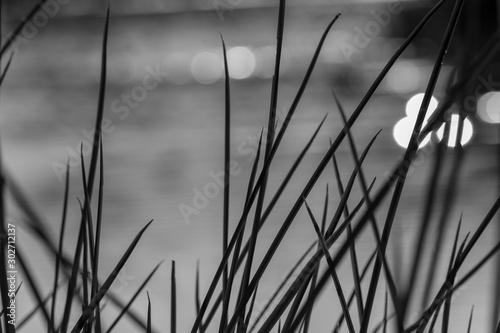 black and white river grass with bokeh