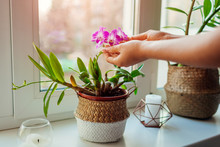 Dendrobium Orchid. Woman Taking Care Of Home Plats. Close-up Of Female Hands Holding Flowers