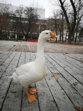 Adorable, White Goose In Outdoor In Autumn Season