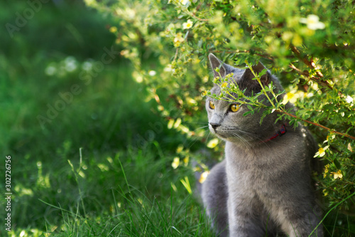 Chartreux in the garden Wallpaper Mural