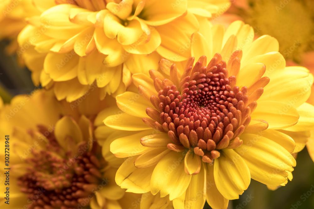 Fototapeta Yellow mums in a bouquet.