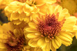 Yellow mums in a bouquet.