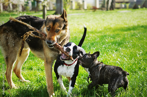 Fototapeta Three friendly happy playing dogs in summer park. German shepherd, american staffordshire terrier and french bulldog holding one stick. Different dog breeds have fun together. obraz