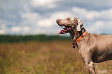 Weimaraner Dog Standing In Sunny Countryside Field