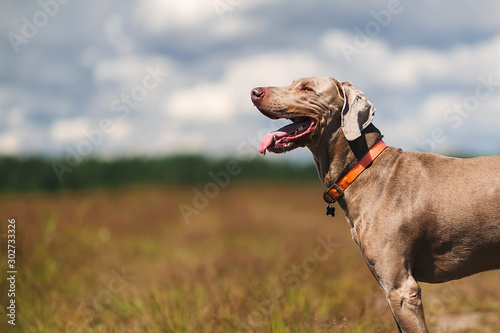 Weimaraner dog standing in sunny countryside field Fototapete
