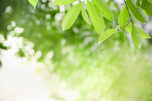 Close Up Of Nature View Green Leaf With Rain Drop On Blurred Greenery Background Under Sunlight With Bokeh And Copy Space Using As Background Natural Plants Landscape, Ecology Wallpaper Concept.