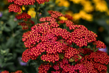 Achillea Millefolium, Yarrow With Red Blossoms