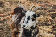 Black And White Goat With Horn...