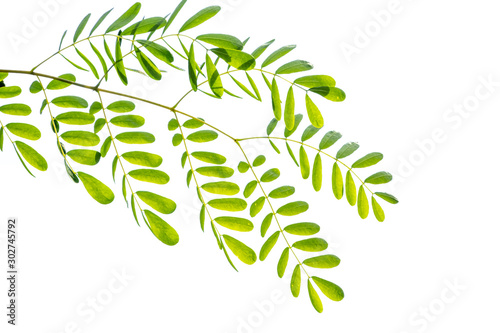 Acacia leaves isolated on white background. Wallpaper Mural