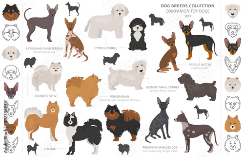 Fotografija Companion and miniature toy dogs collection isolated on white