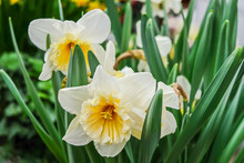 White Daffodils Are Fragrant F...