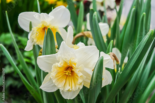 White daffodils are fragrant first spring flowers. Narcissus-decoration of spring parks and squares. Used in landscape design. Close up.