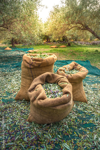 Fotografie, Obraz Harvested fresh olives in sacks in a field in Crete, Greece for olive oil production, using green nets