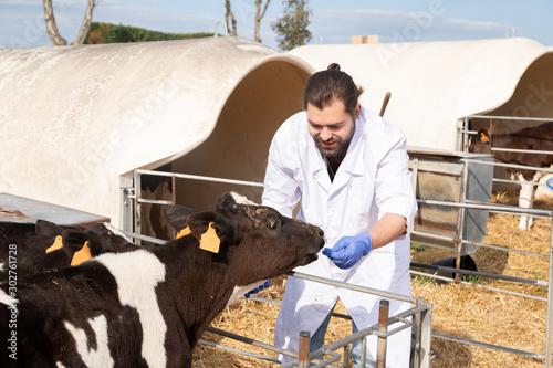 Tablou Canvas Man farmer is taking care  newborn calf at the cowhouse