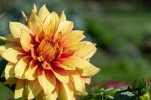 Close Up Of A Yellow Dahlia