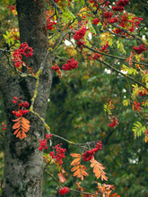 Red Berries Of Viburnum On A Branch