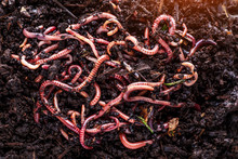 Many Living Earthworms For Fis...