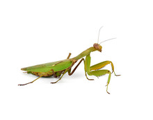 Large Green Mantis With Long A...