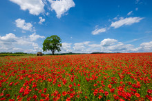 Beautiful Red And White Poppies In The Derbyshire Countryside, Baslow, Derbyshire