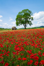 Beautiful Red Poppies In The D...