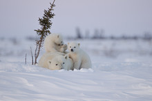 Polar Bear Family In Wapusk Na...