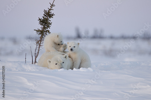 Poster Ijsbeer Polar Bear Family in Wapusk National Park
