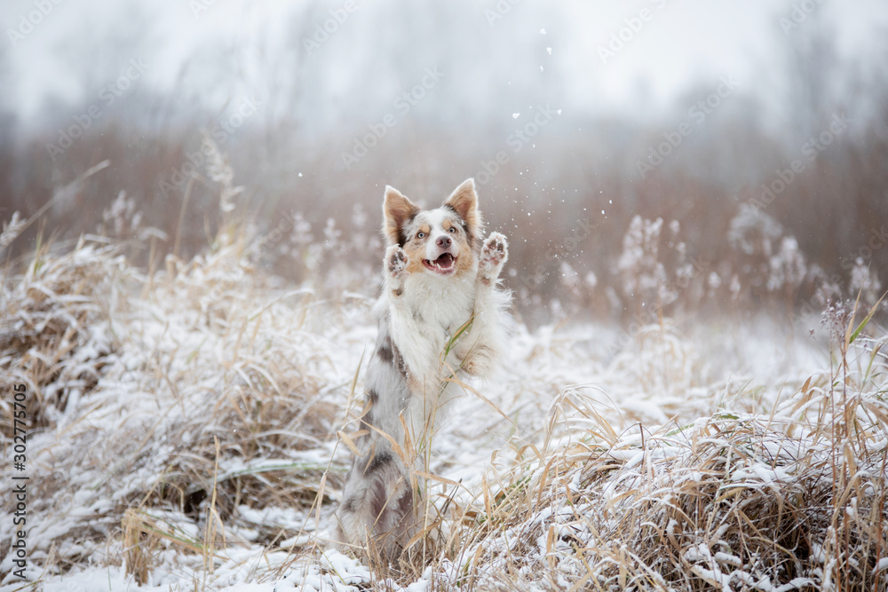 dog in the snow on nature. Marble Border Collie in the winter in the park