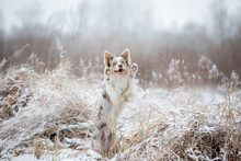 Dog In The Snow On Nature. Mar...