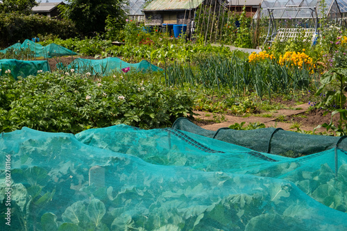 Photo Crop protection on a british allotment, debris netting used to protect brassicas