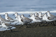 Flock Of White Sandpipers Walk...