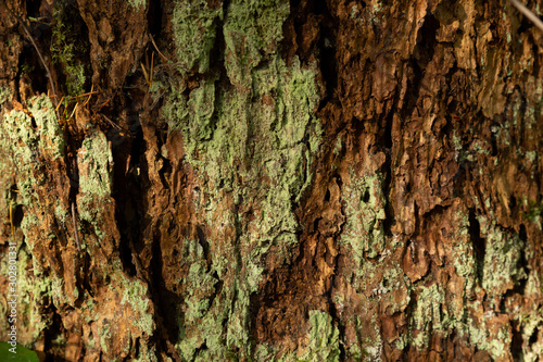Textured tree bark with green litchen Canvas Print