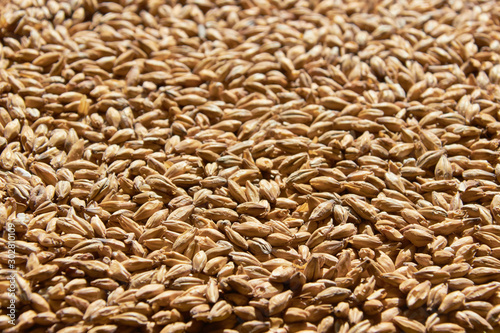 Photo barley grains for background texture