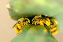 Bees And Cactus