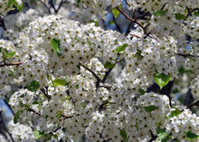 Custers Of White Blossoms Of Bradford Pear; A Non-fruit-bearing Variety Well Suited To Parking Lots And Street Plantings.