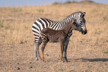 Rare Zebra Foal With Polka Dot...