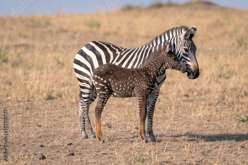 Fototapeta Rare zebra foal with polka dots (spots) instead of stripes, named Tira after the guide who first saw her, with its mother. Image taken in the Masai Mara National Park in Kenya. obraz
