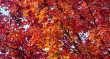 Red Orange Leaves On Tree During Fall Foilage Sparse 3