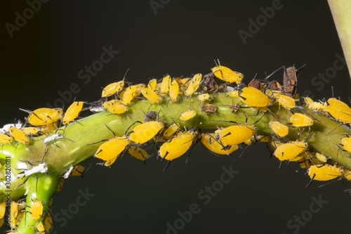 Photo Milkweed aphids Aphis nerii on tip of Stefanotis stalk