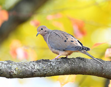 Morning Dove Standing On Tree ...